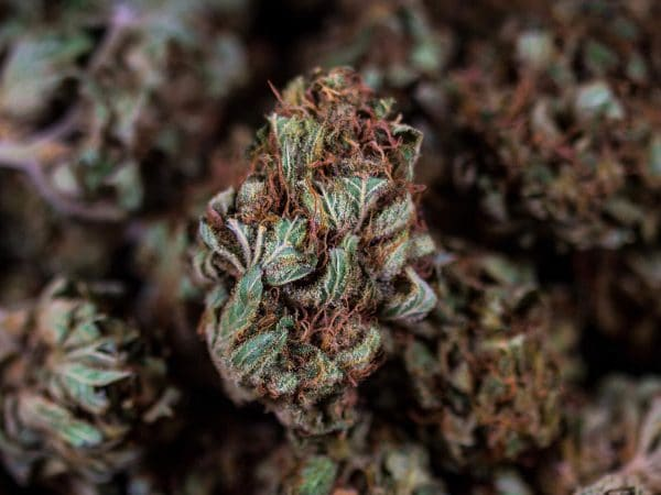 cannabis ad alto contenuto cbd