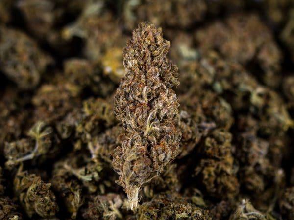 fiore di cannabis